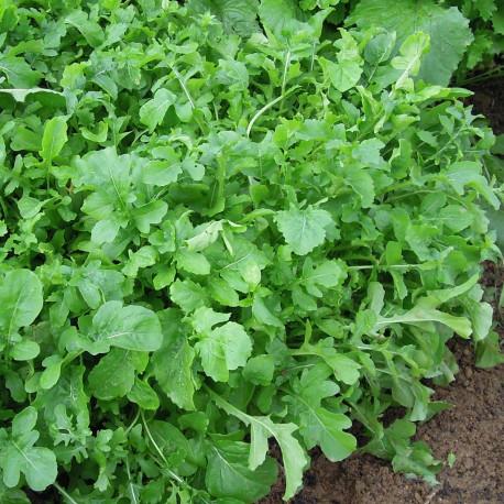 Roquette cultivée