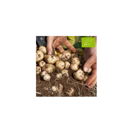 Pomme de terre Lutine BIO
