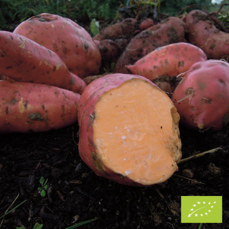 Patate Douce Beauregard Bio en godet pré-poussé - ORANGE