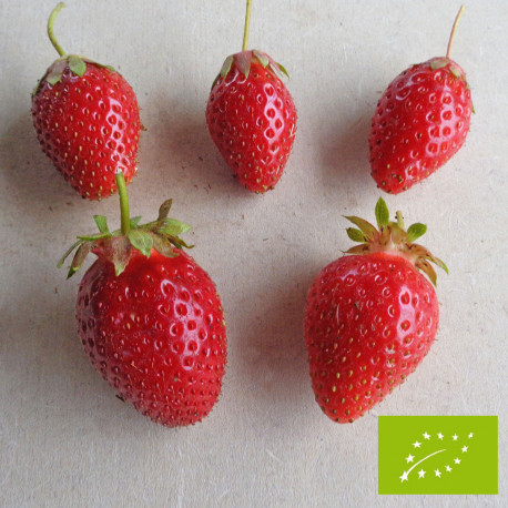 Plant de fraisier Bio Ciflorette (godet)