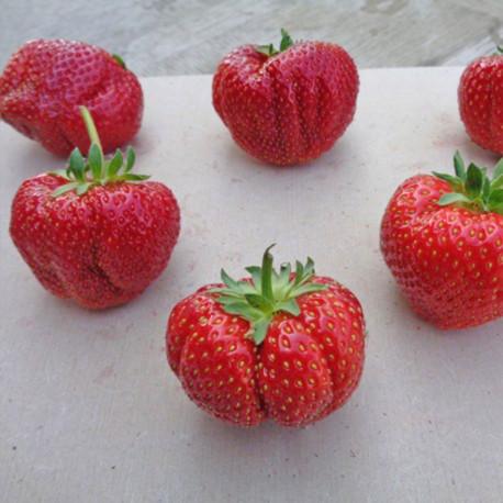 Plant de fraisier Sonata (godet)