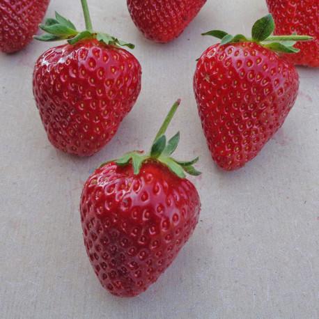 Plant de fraisier Flair (godet)
