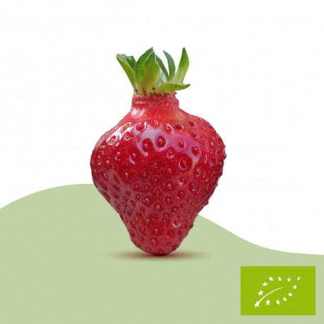 Plant de fraisier Bio Rubis des Jardins (racines nues)
