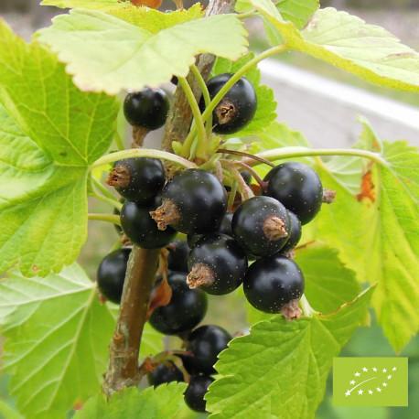 Plant de cassis Noir de Bourgogne Bio