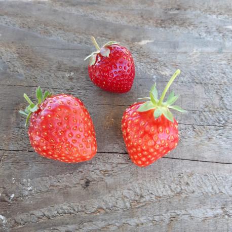Plant de fraisier Sonsation (godet)