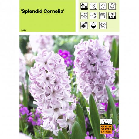 Jacinthe Splendid Cornelia