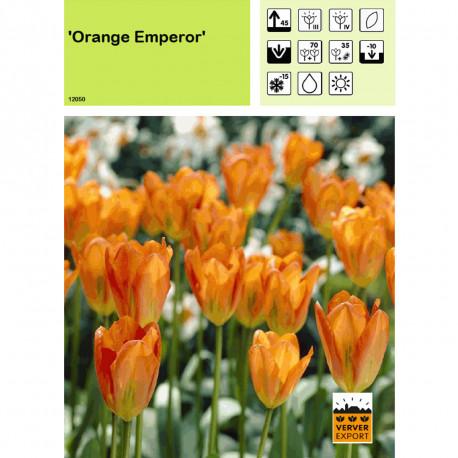 Tulipe Orange Emperor