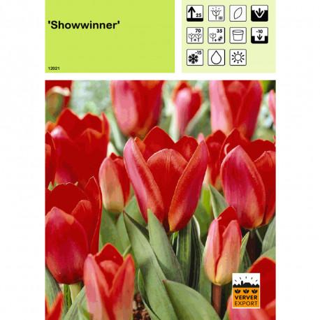 Tulipe Showwinner