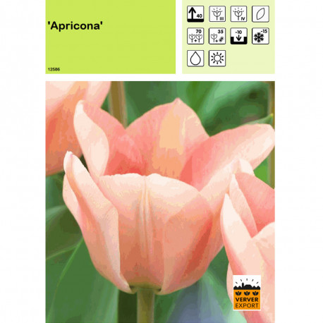 Tulipe Apricona