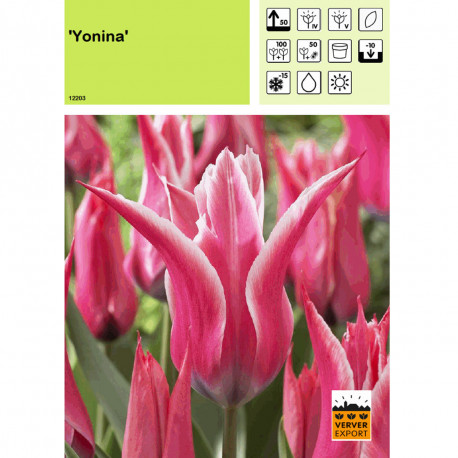 Tulipe Yonina