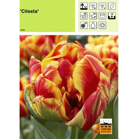 Tulipe Cilesta