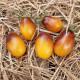 Tomate INDIGO™ Pear Drops