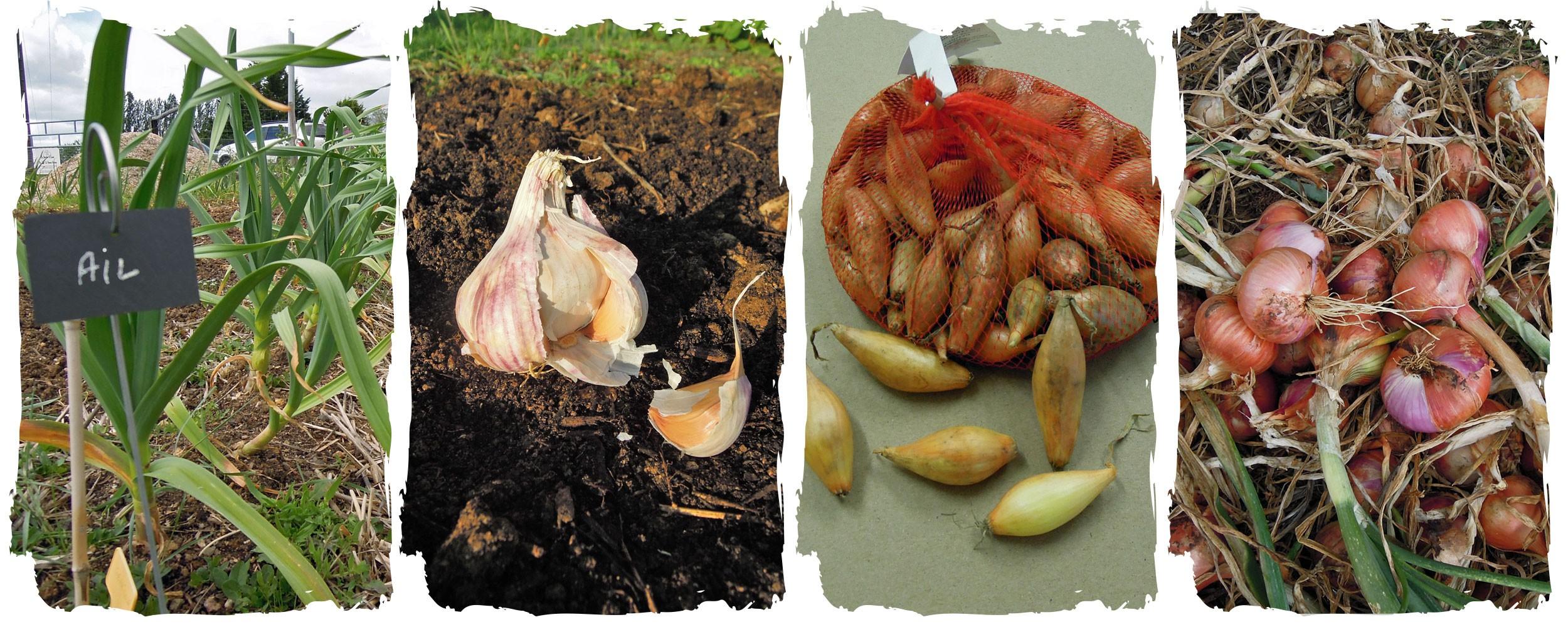 Bulbes potagers : à planter en automne