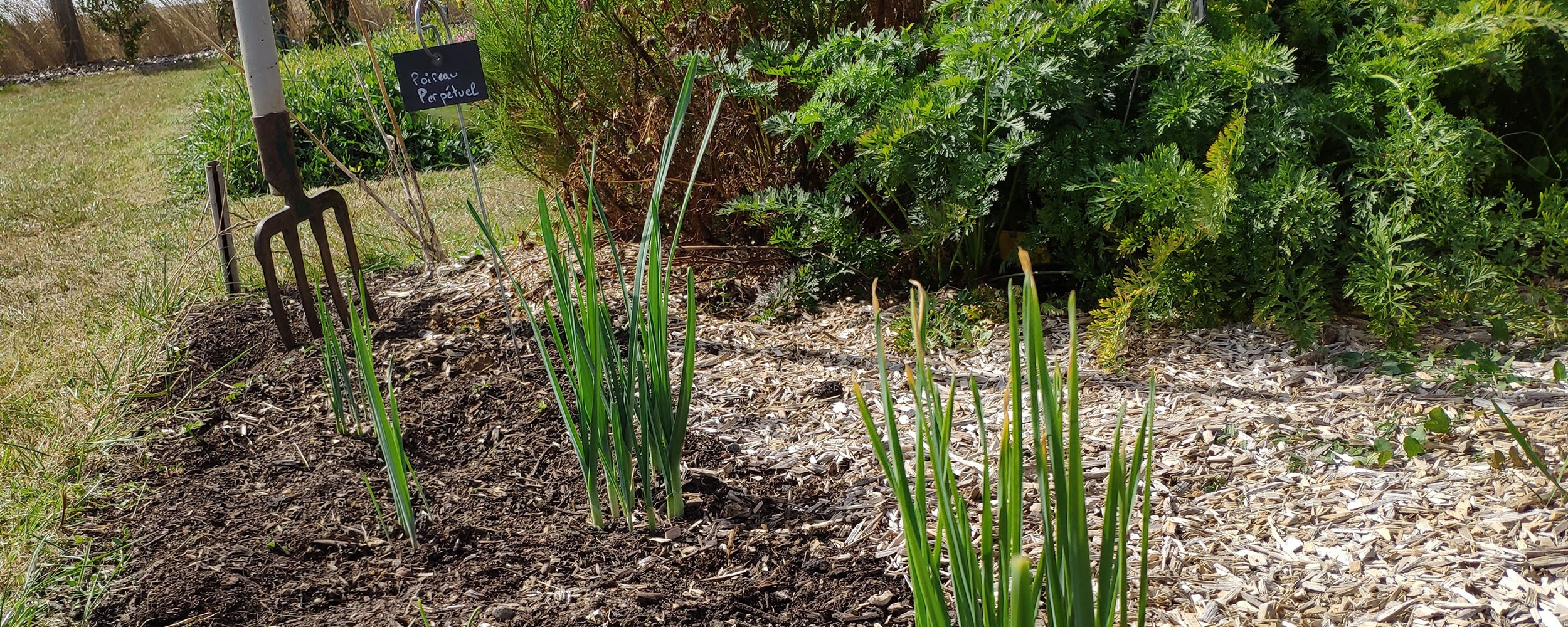 Poireau perpétuel : mettez les au jardin !