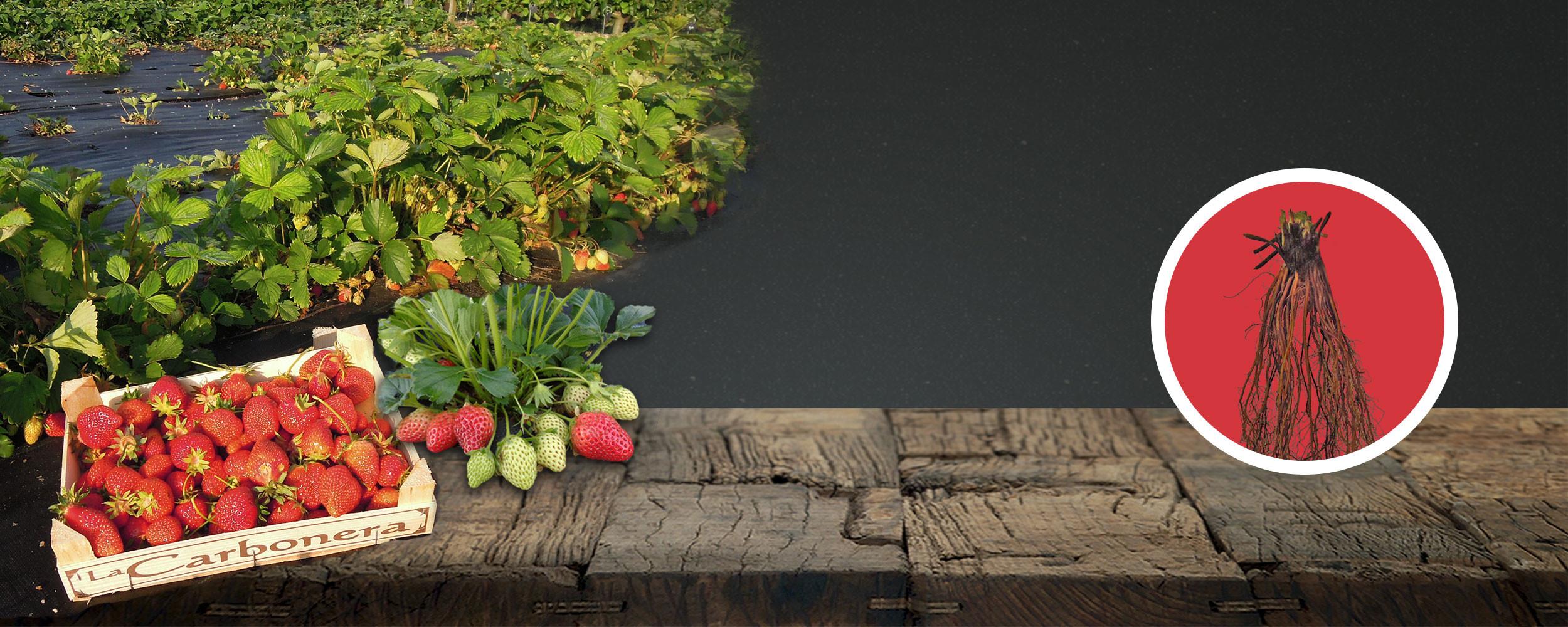fraisiers racines nues